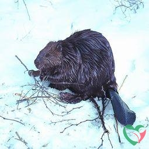 Animal Essences Beaver (bever)