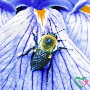 Animal Essences Bumblebee (hommel)