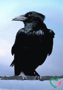 Animal Essences Crow (kraai)